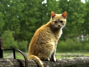 Кошки породы без аллергии
