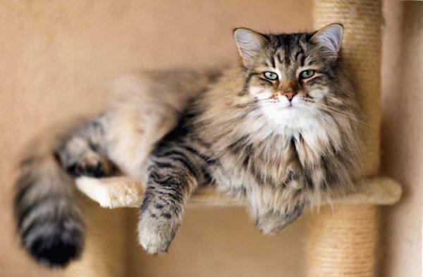 Кошка породы не вызывающие аллергию