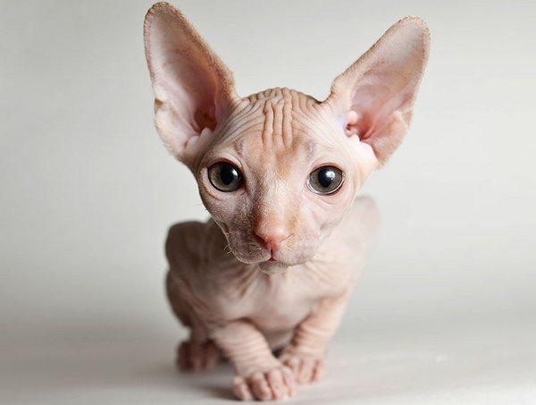 От кота сфинкса аллергия на