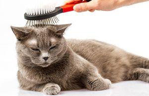 Британские кошки на них есть аллергия thumbnail